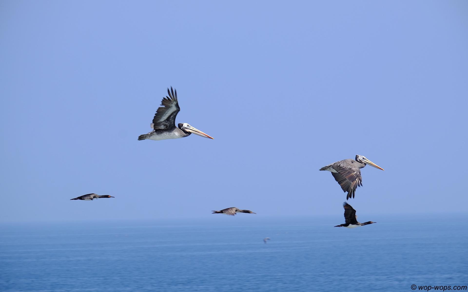 Pelican, Chile, 2016