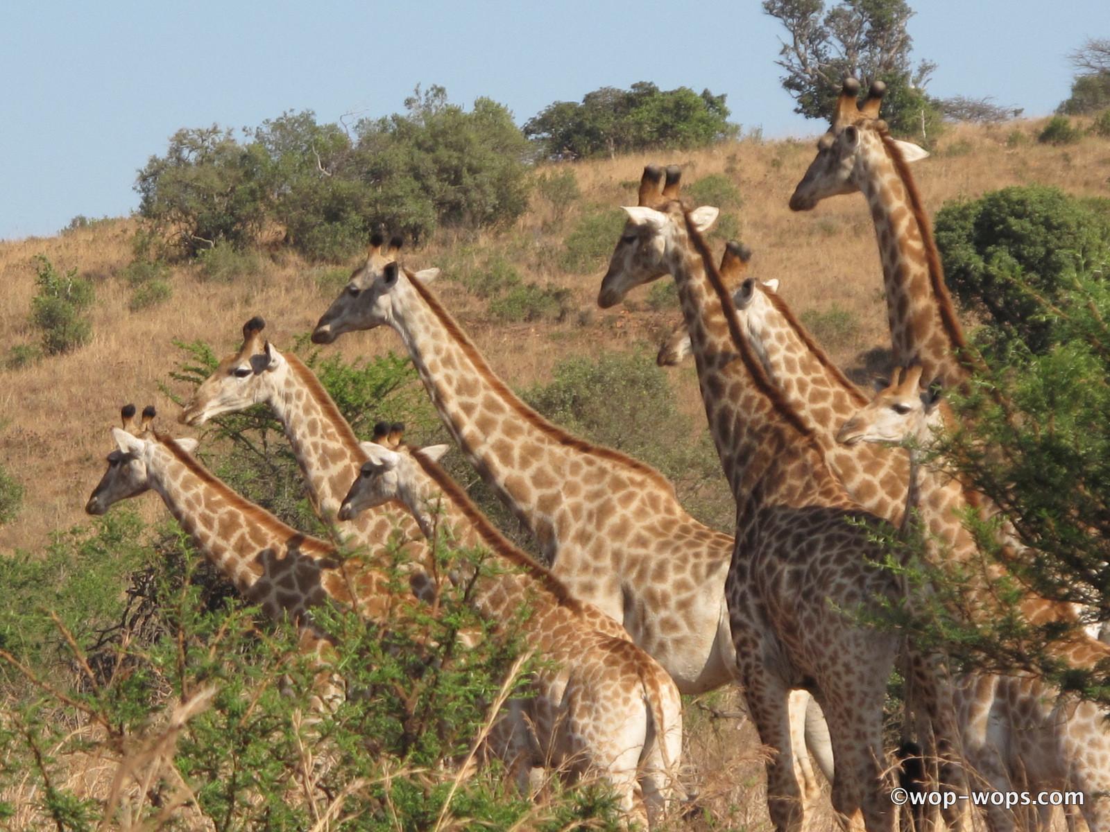 Giraffe, Botswana, 2010