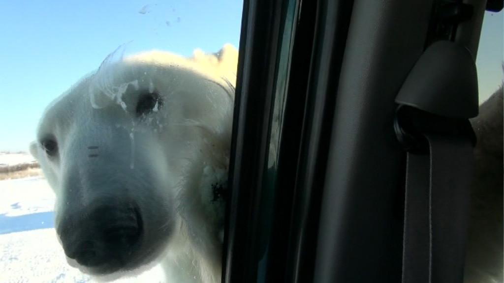 Eisbär versucht ins Auto zu kommen