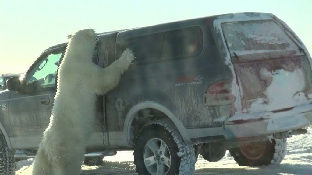 Eisbär attackiert unser Auto in Churchill