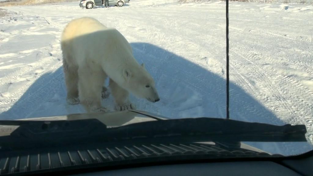 Eisbär an unserem Auto in Churchill