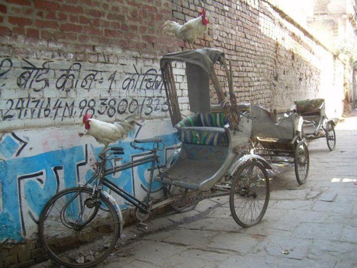 Coqs - Inde 2011