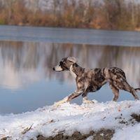 Greyhound Hund Windhund