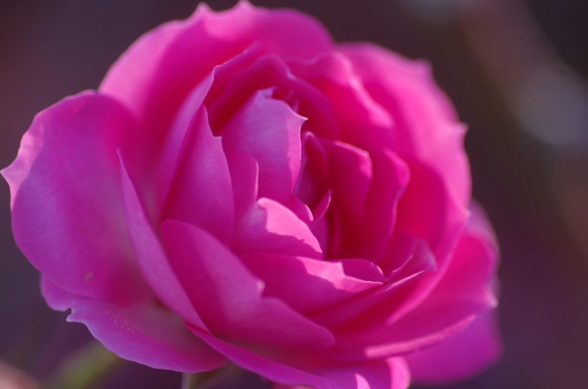 2013.12.18 薔薇(ばら)