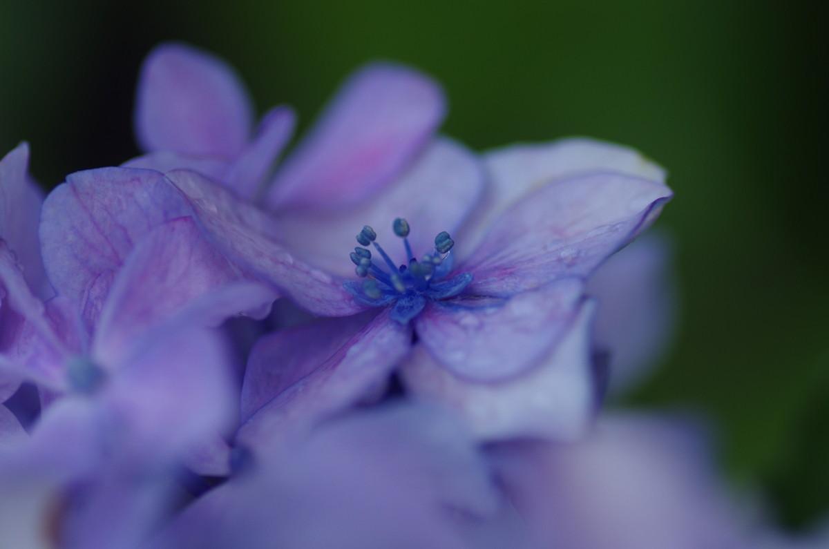 2013.06.25 紫陽花(あじさい)