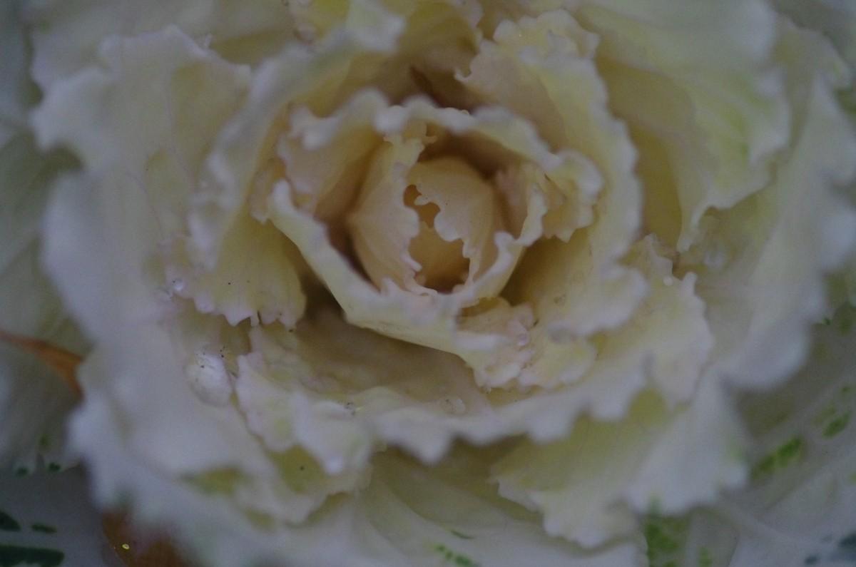 2012.12.19 葉牡丹(はぼたん)