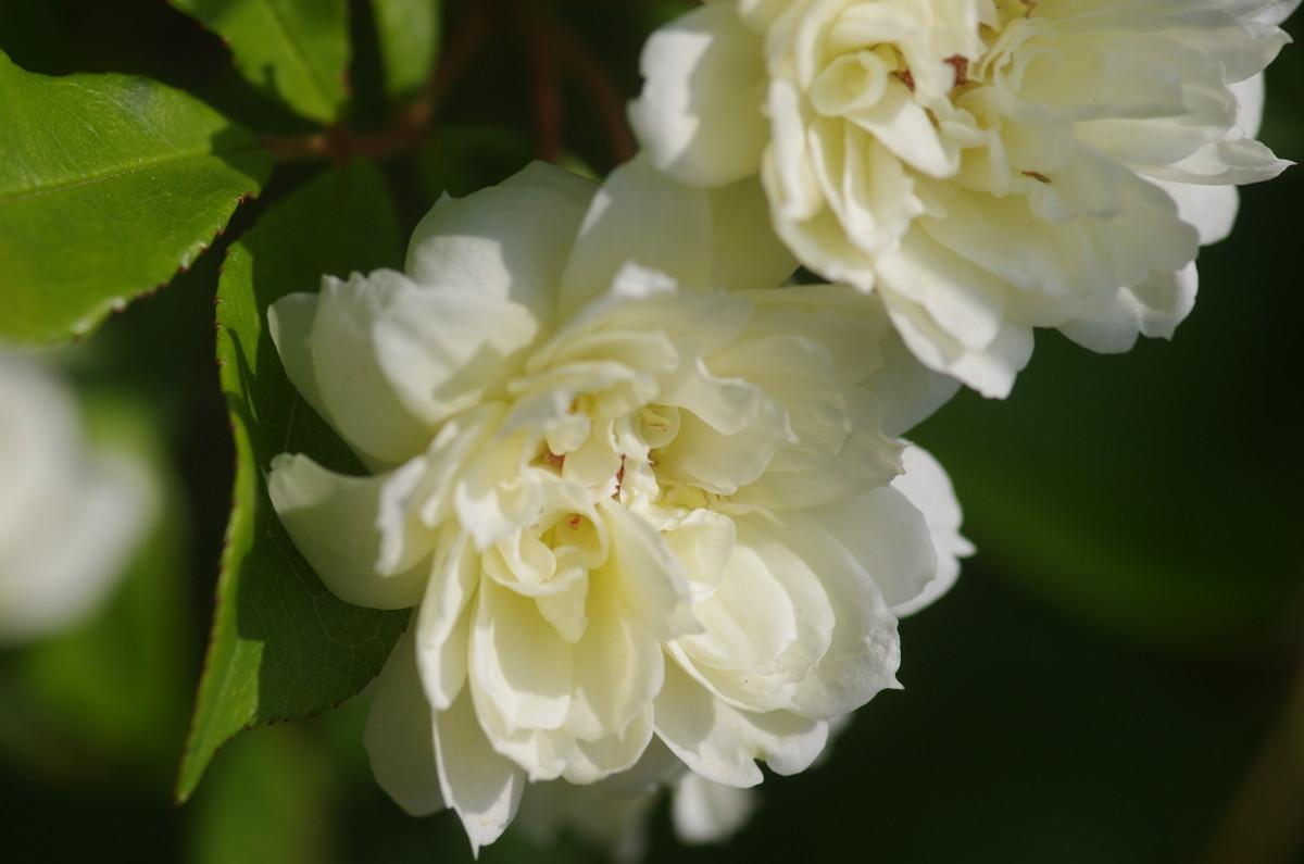 2013.05.07 木香薔薇 (もっこうばら)