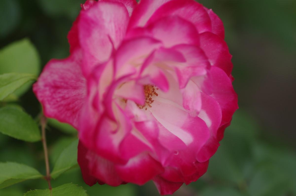 2014.05.25 薔薇(ばら)
