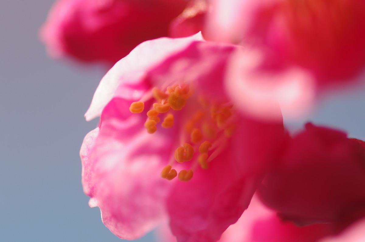 2013.03.16 寒緋桜 (かんひざくら)