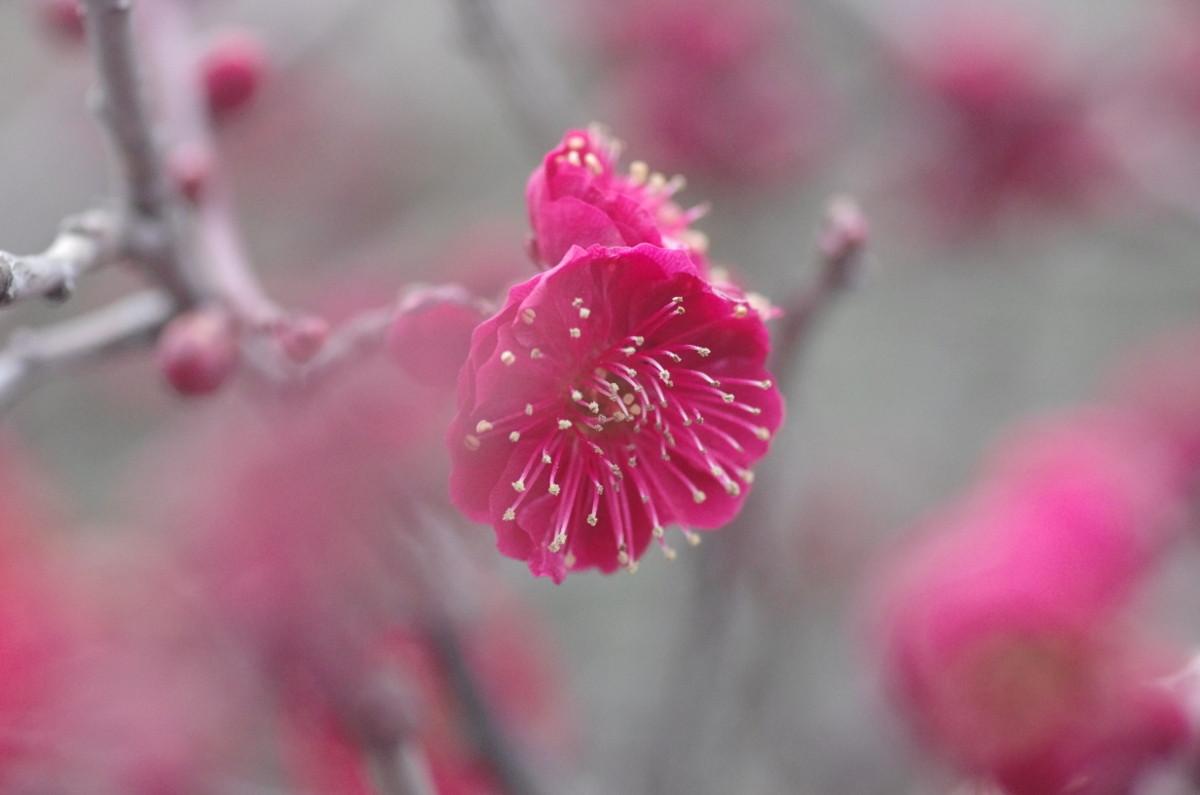 2014.03.04 紅梅(こうばい)