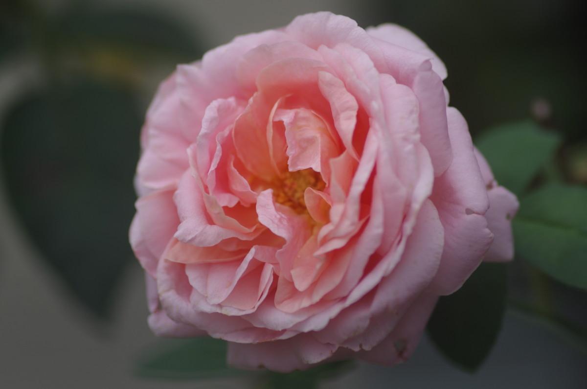 2014.08.16 薔薇(ばら)
