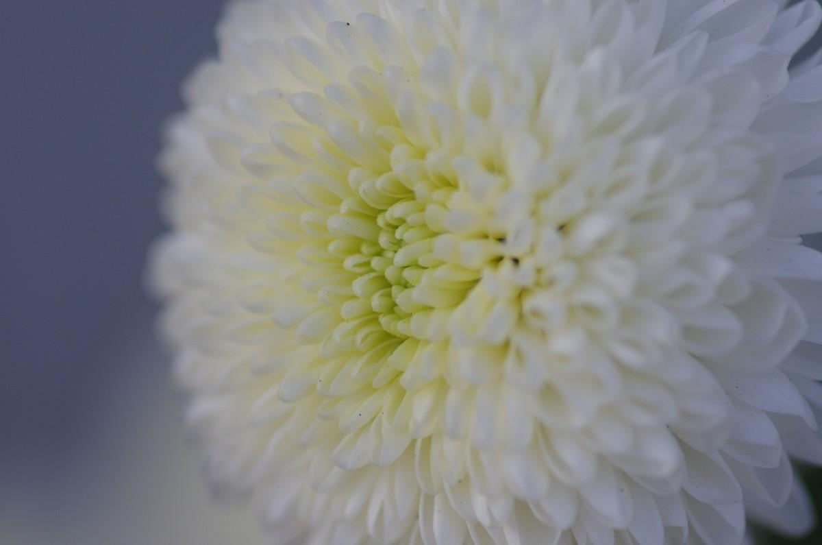 2012.11.09 菊(きく)