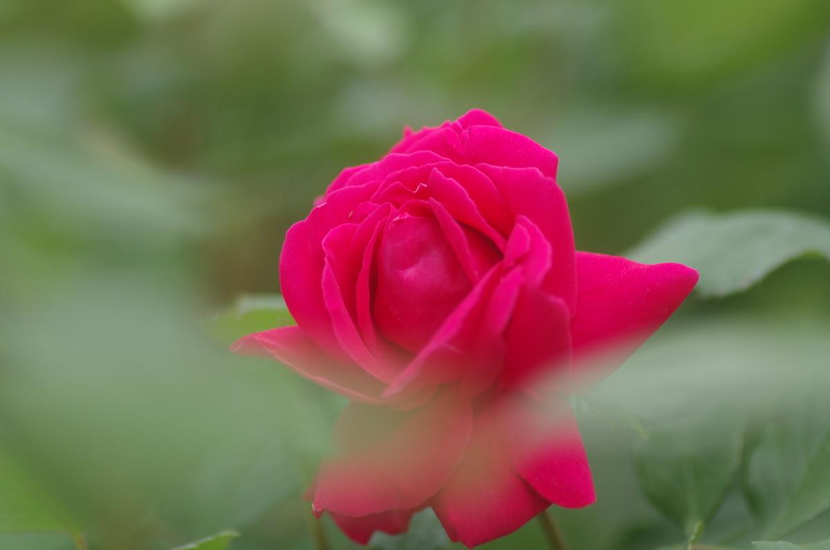 2015.05.22 薔薇(ばら)