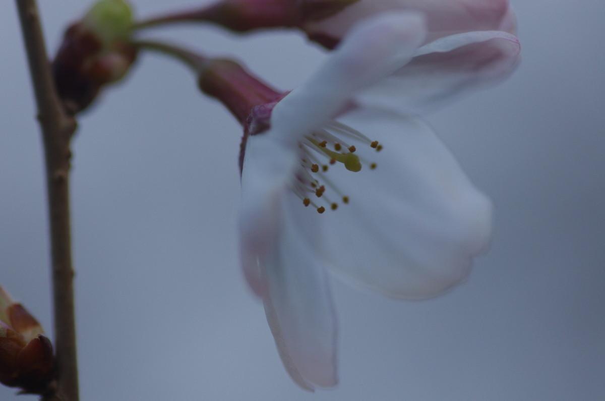2013.03.18 桜(さくら)