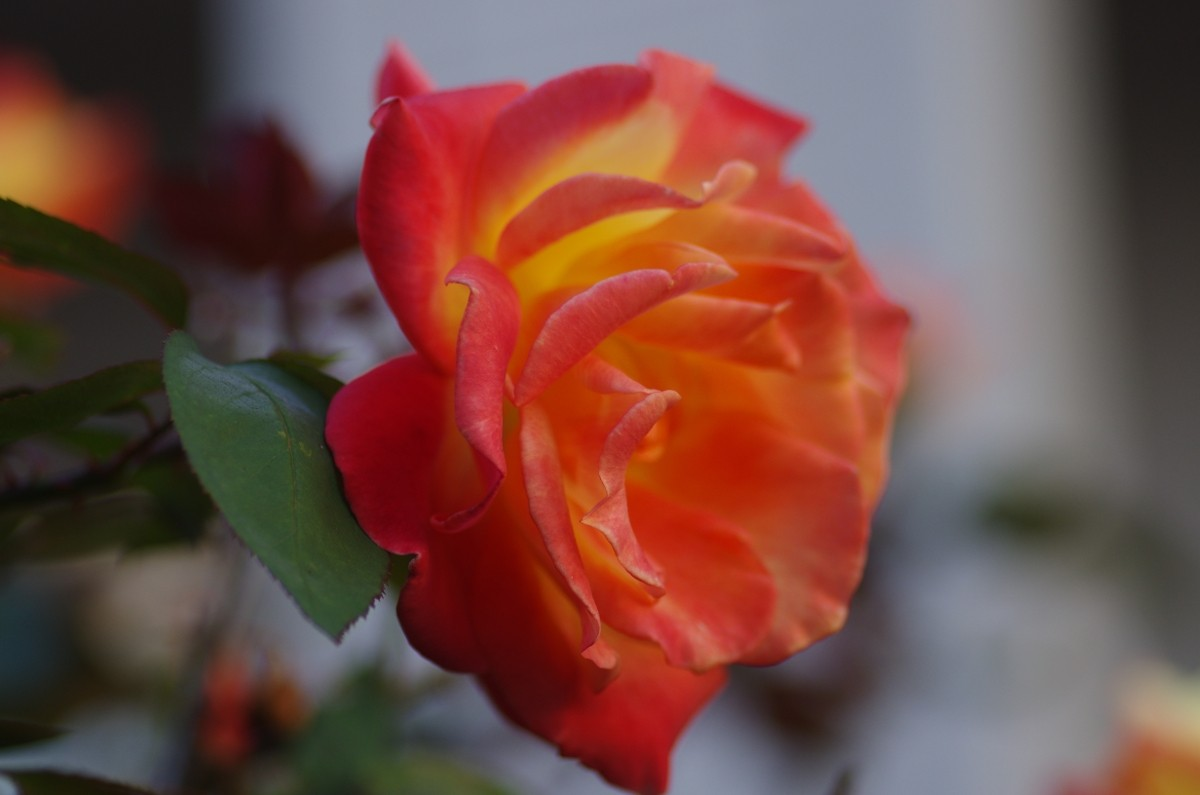 2012.11.21 薔薇(ばら)