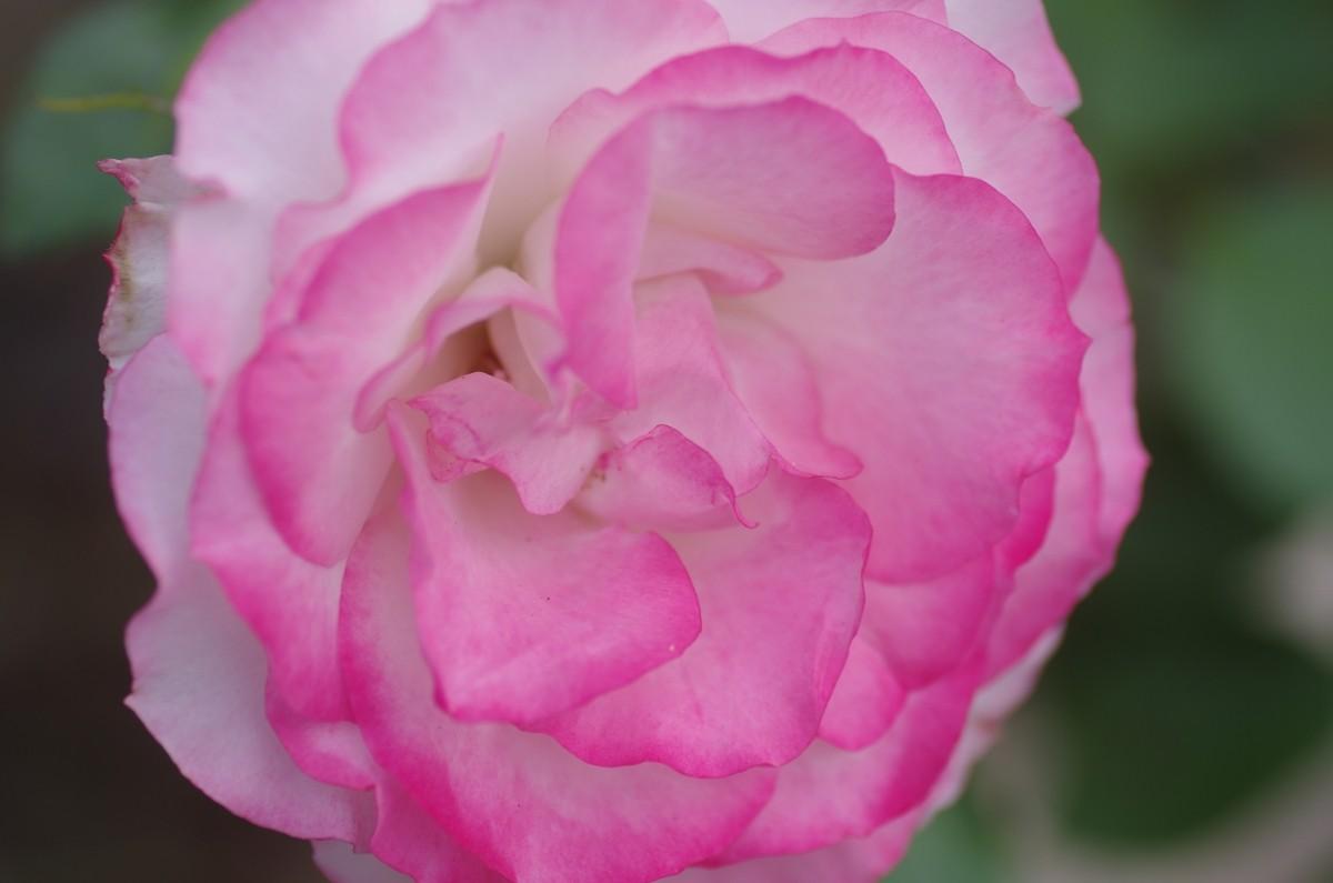 2014.06.06 薔薇(ばら)