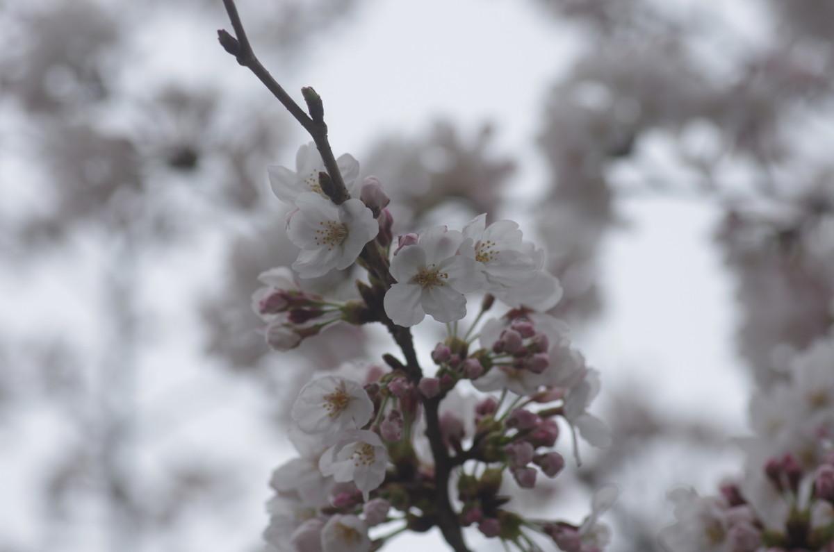 2015.03.31 桜(さくら)