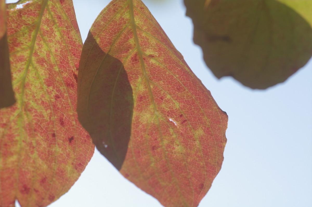 2013.10.22 花水木(はなみずき)