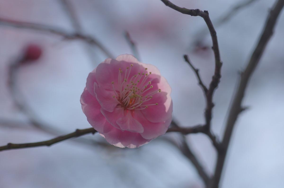 2014.03.19 梅(うめ
