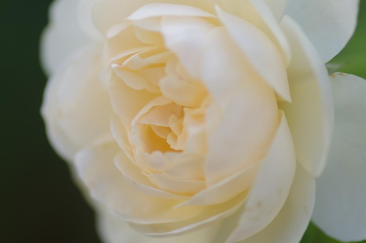 2013.06.16 薔薇(ばら)