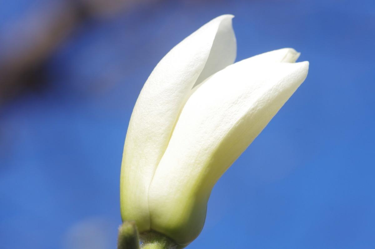 2013.03.22 白木蓮 (はくもくれん)
