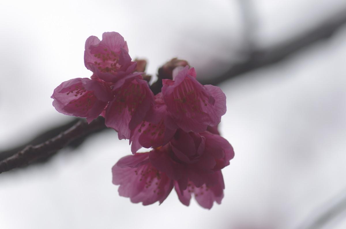 2014.03.27 寒緋桜 (かんひざくら)