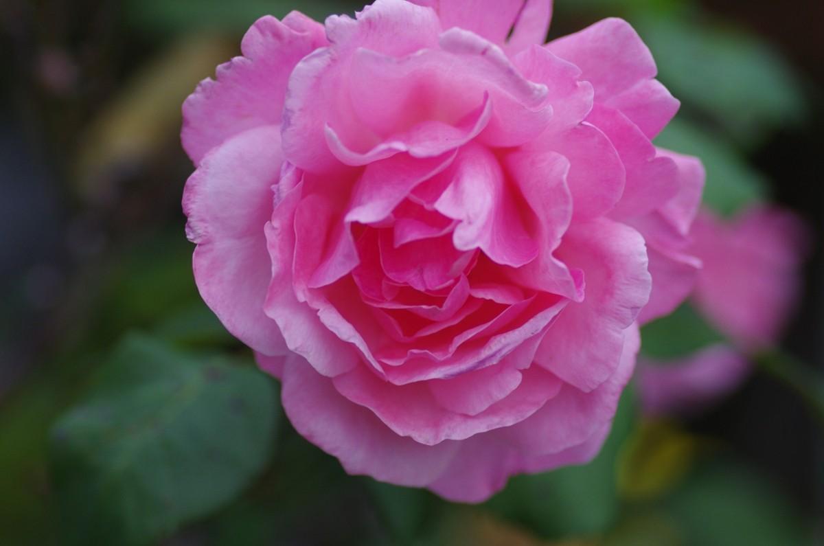 2012.10.25 薔薇(ばら)