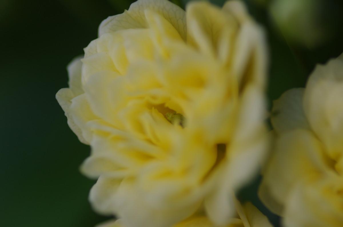 2013.04.09 木香薔薇 (もっこうばら)