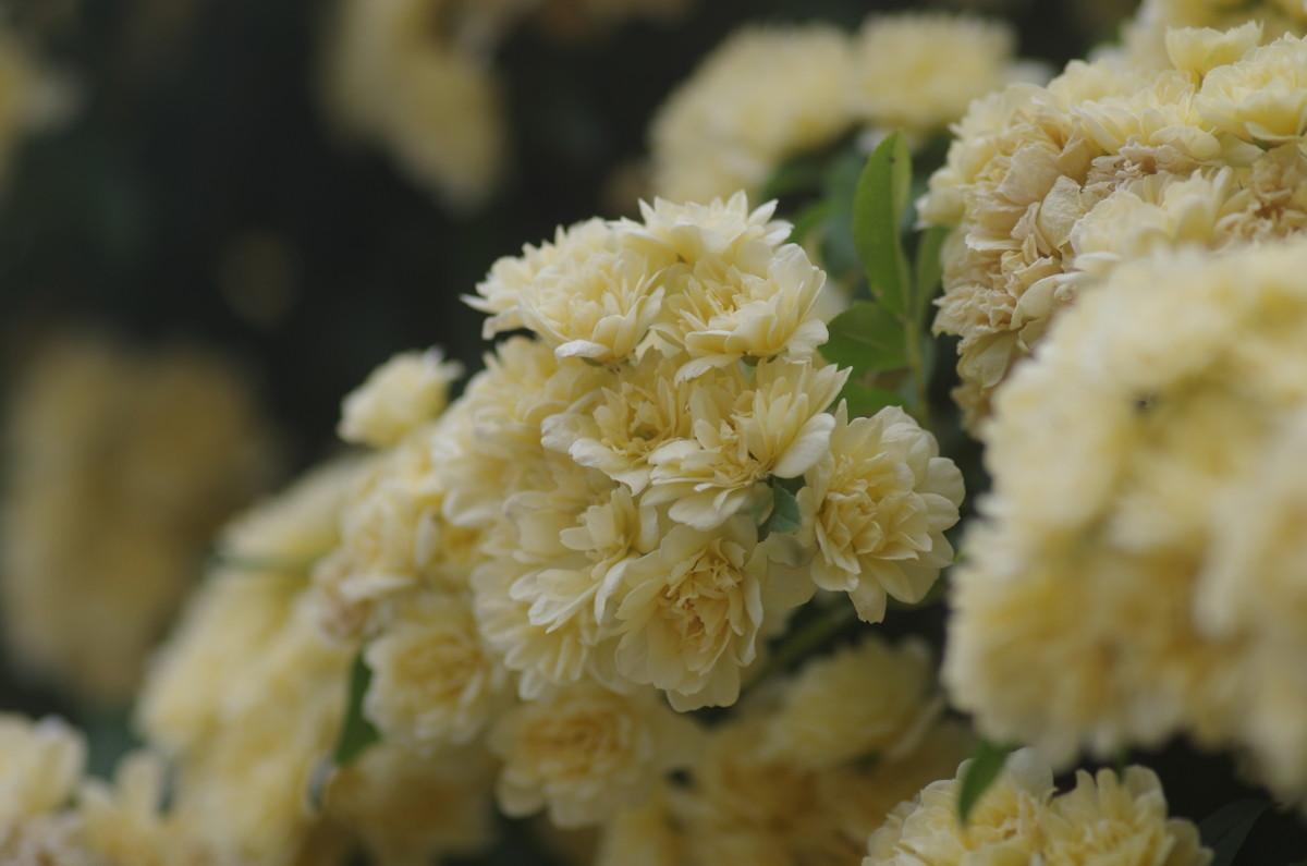 2015.05.30 木香薔薇(もっこうばら)