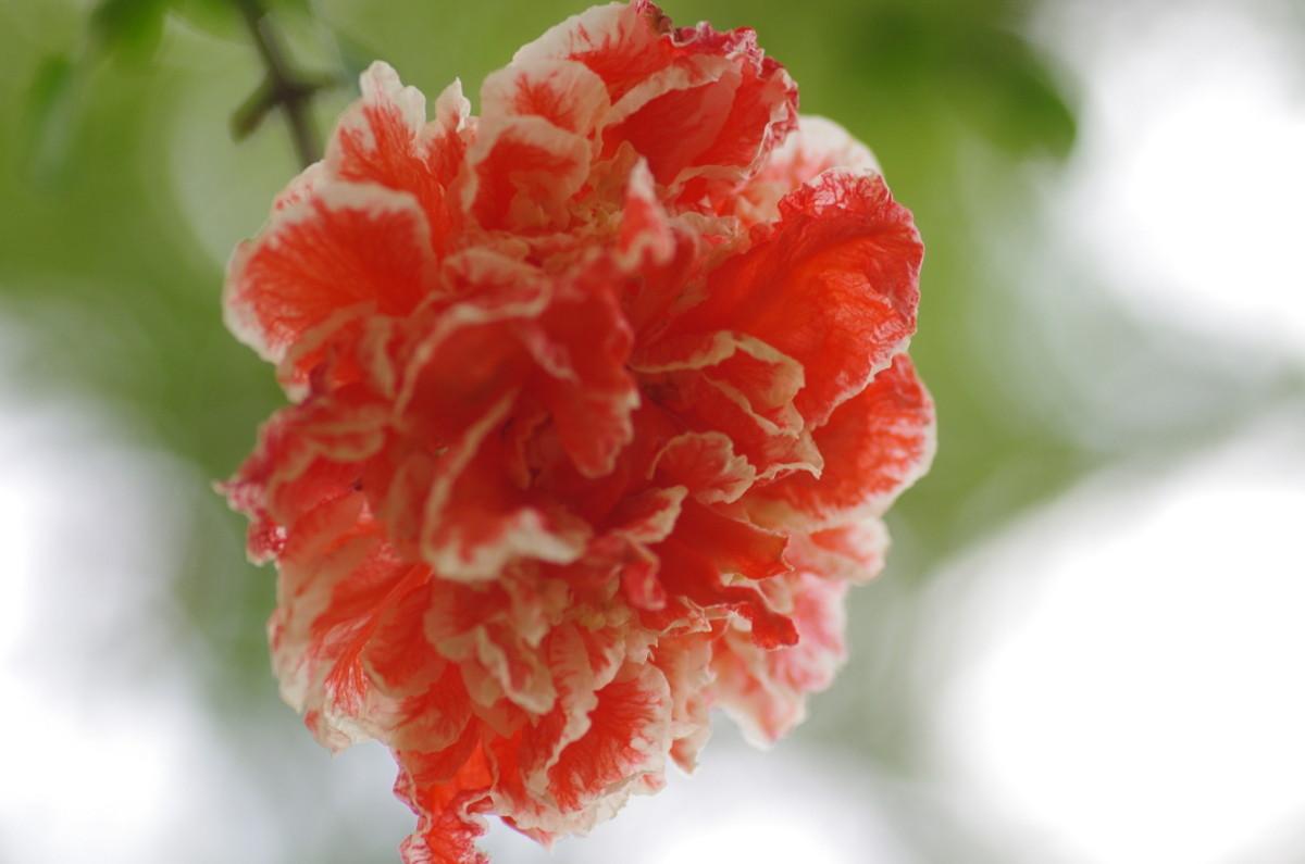 2013.05.26 柘榴(ざくろ)