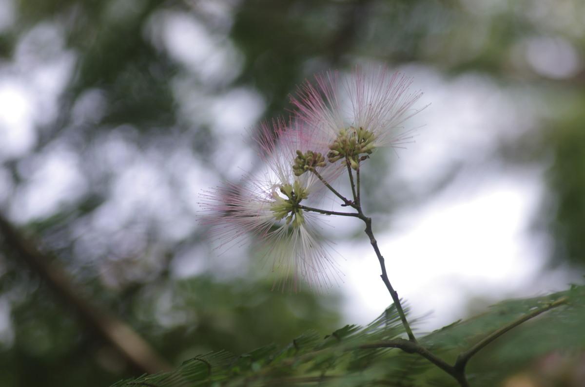 2014.07.18 合歓木(ねむのき)