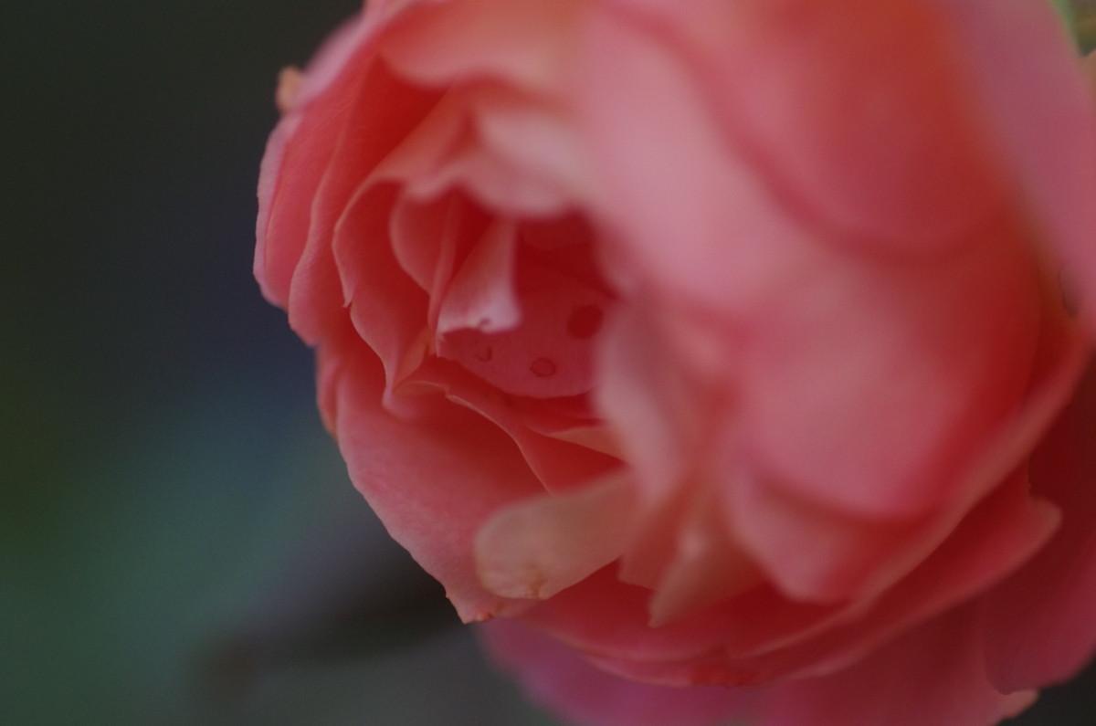 2014.10.28 薔薇(ばら)