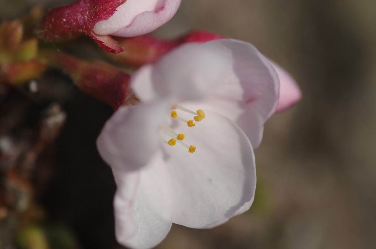 2014.03.29 桜(さくら)