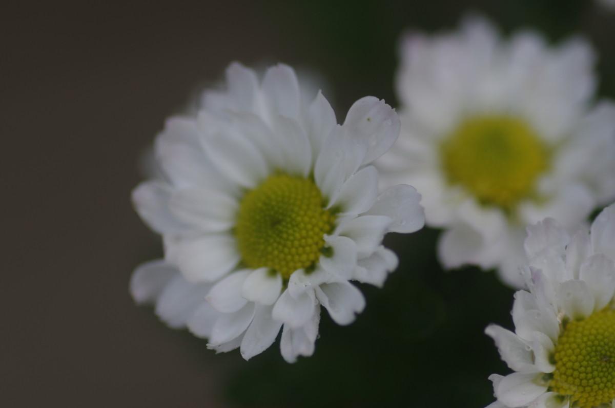 2014.09.17 菊(きく)