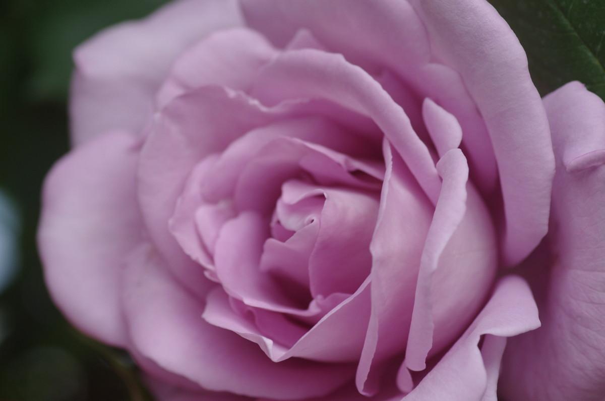 2014.06.01 薔薇(ばら)