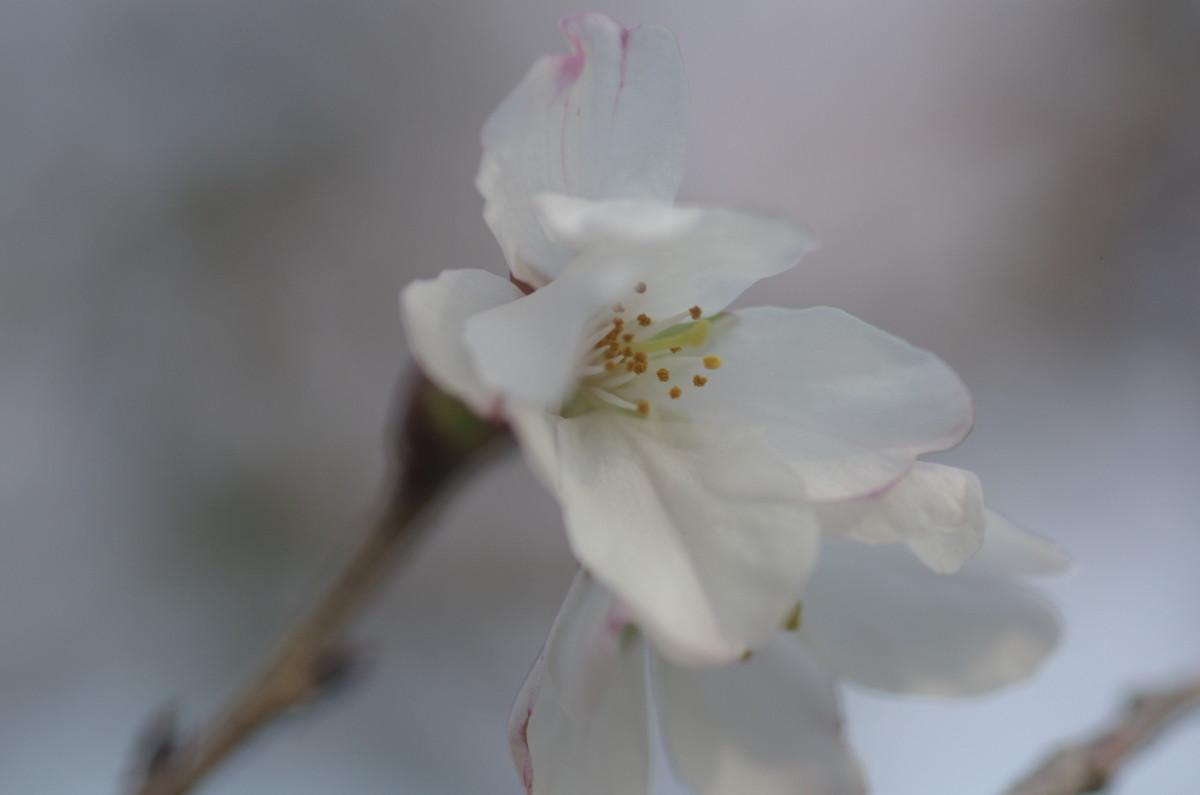 2014.03.28 桜(さくら)