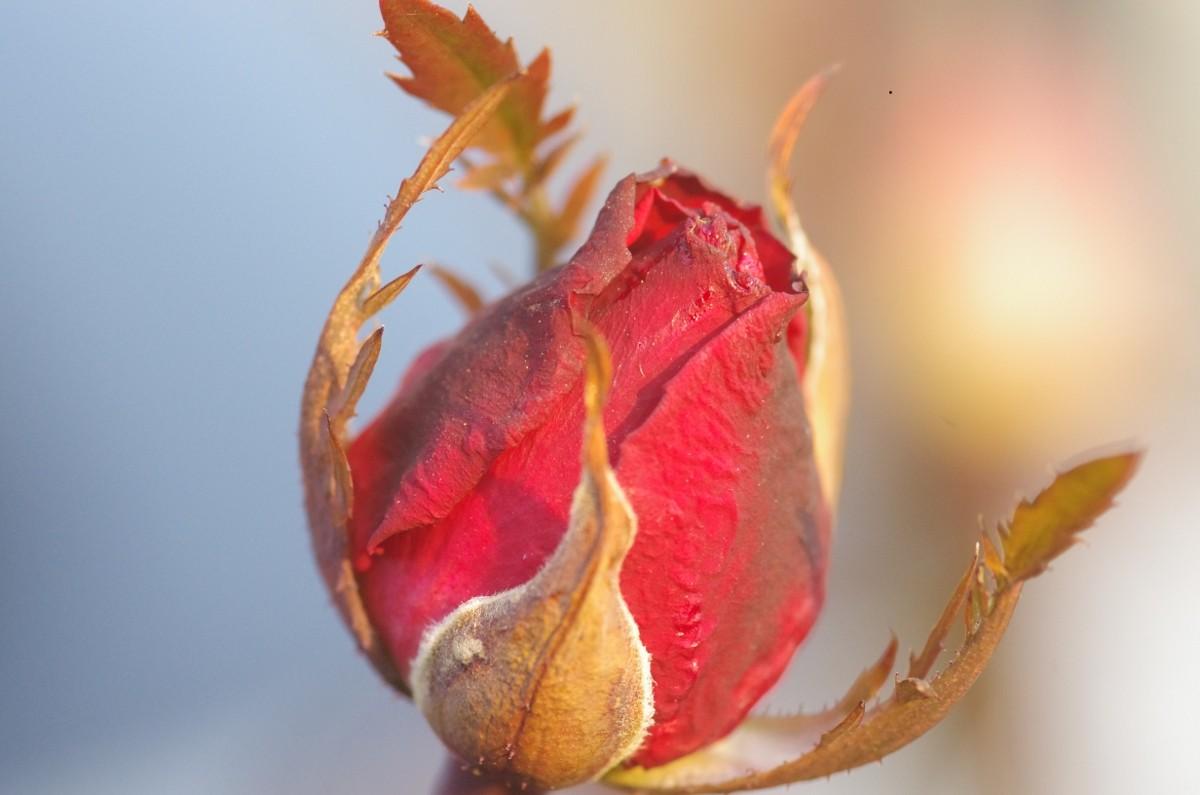 2013.01.12 薔薇(ばら) 蕾