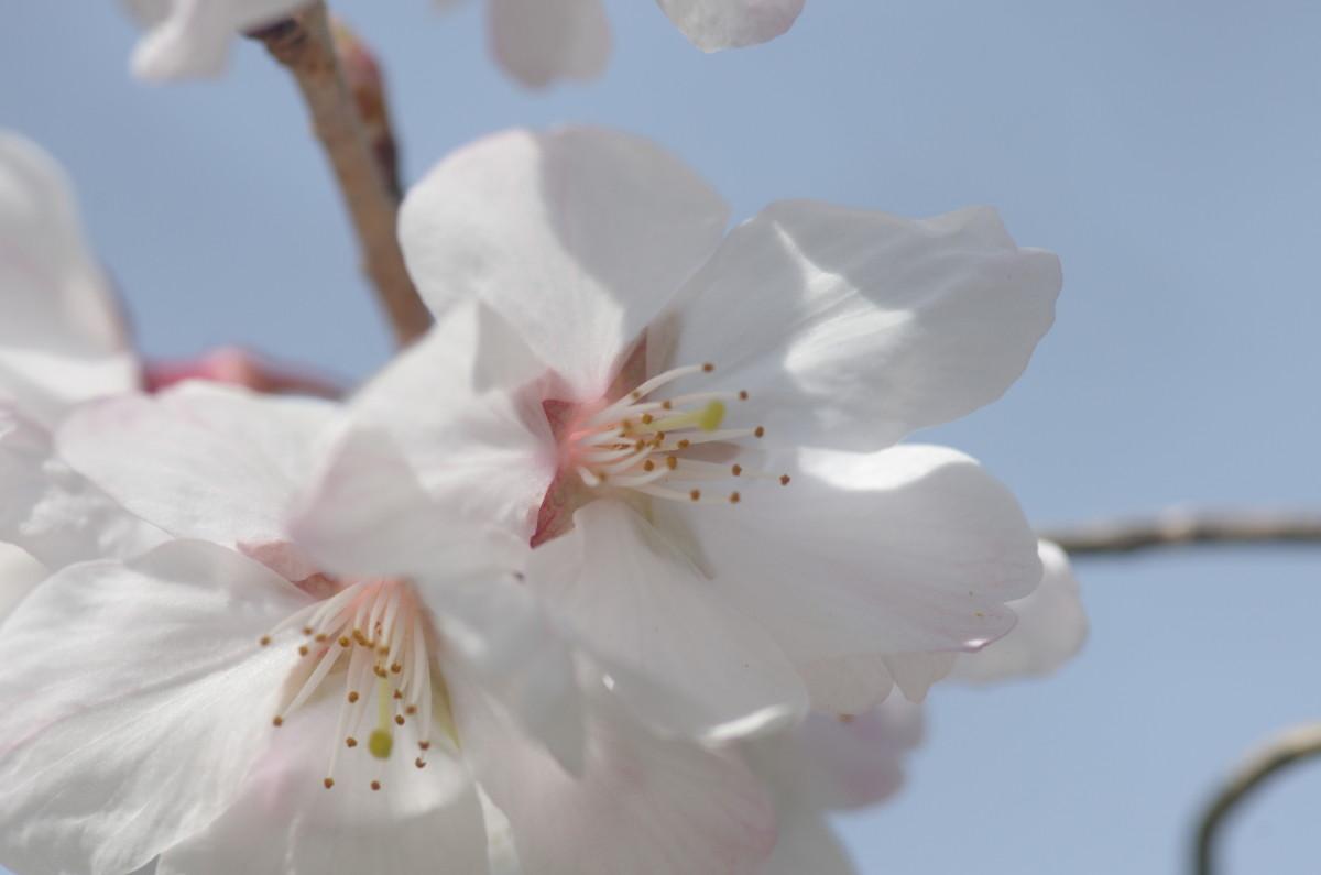 2015.03.28 桜(さくら)