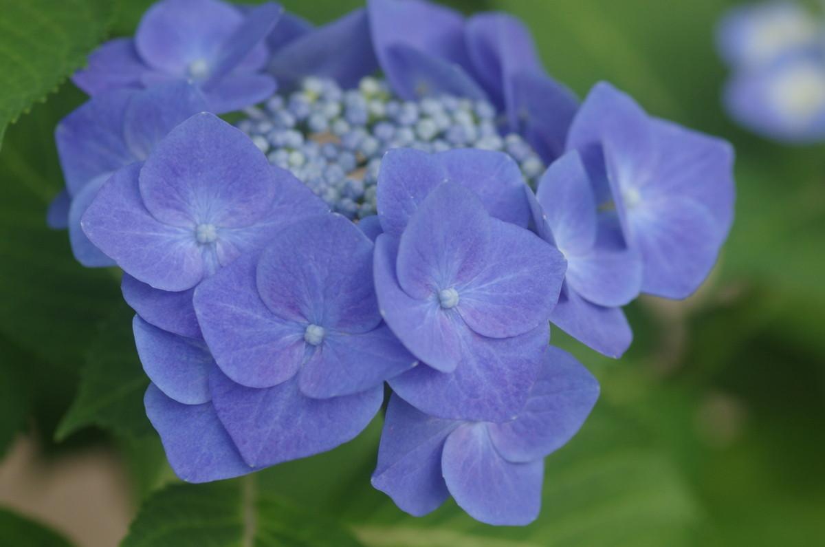 2015.06.18 紫陽花(あじさい)