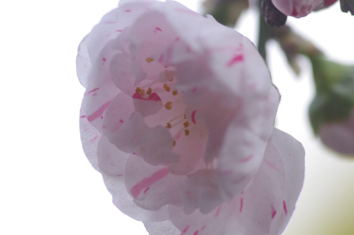 2013.03.24 桃(もも)