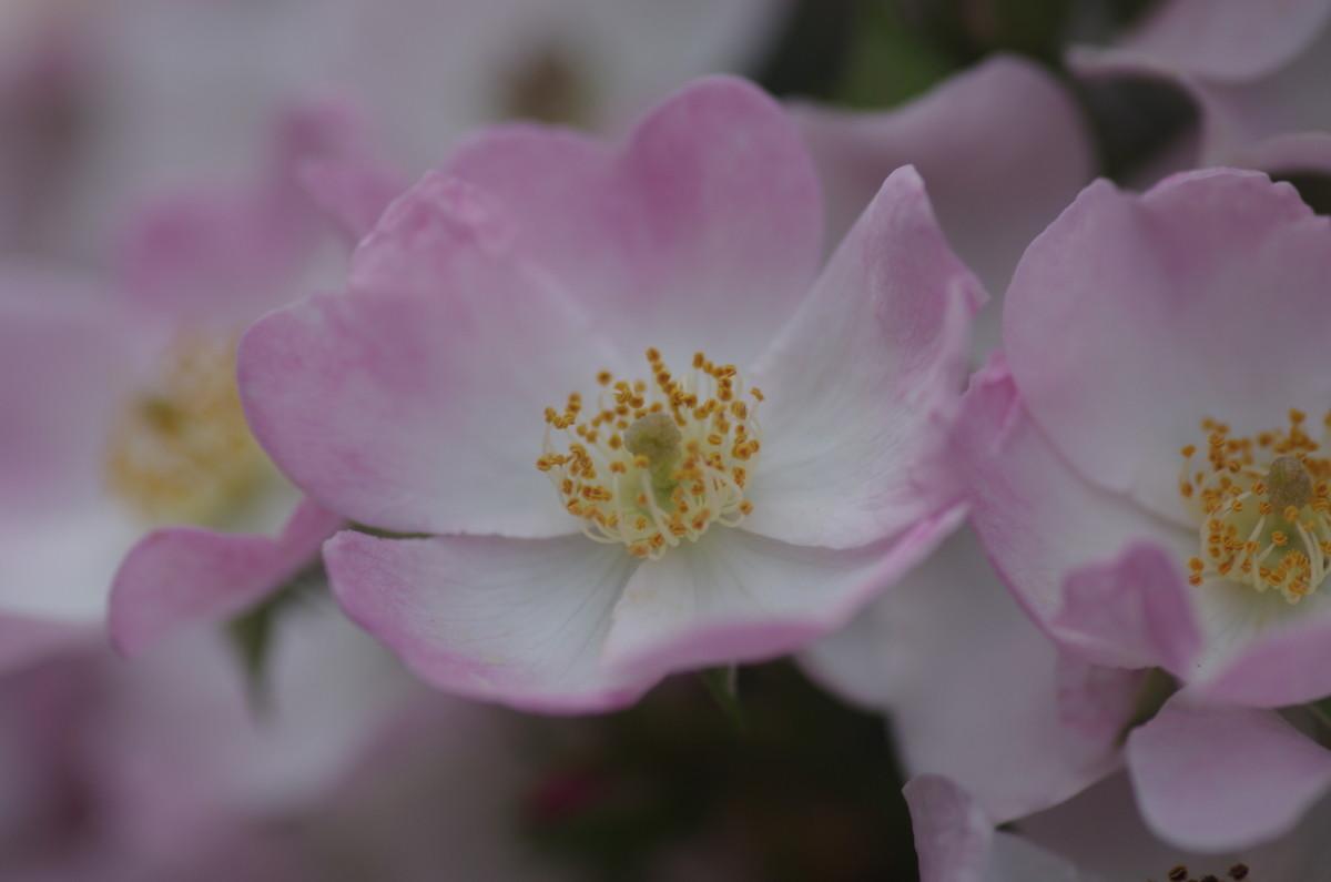 2014.05.27 薔薇(ばら)