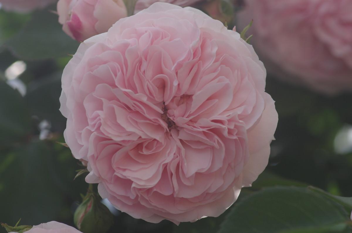 2014.05.30 薔薇(ばら)