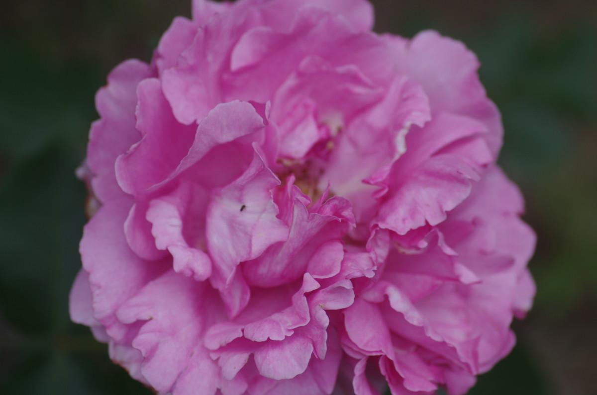 2014.05.24 薔薇(ばら)