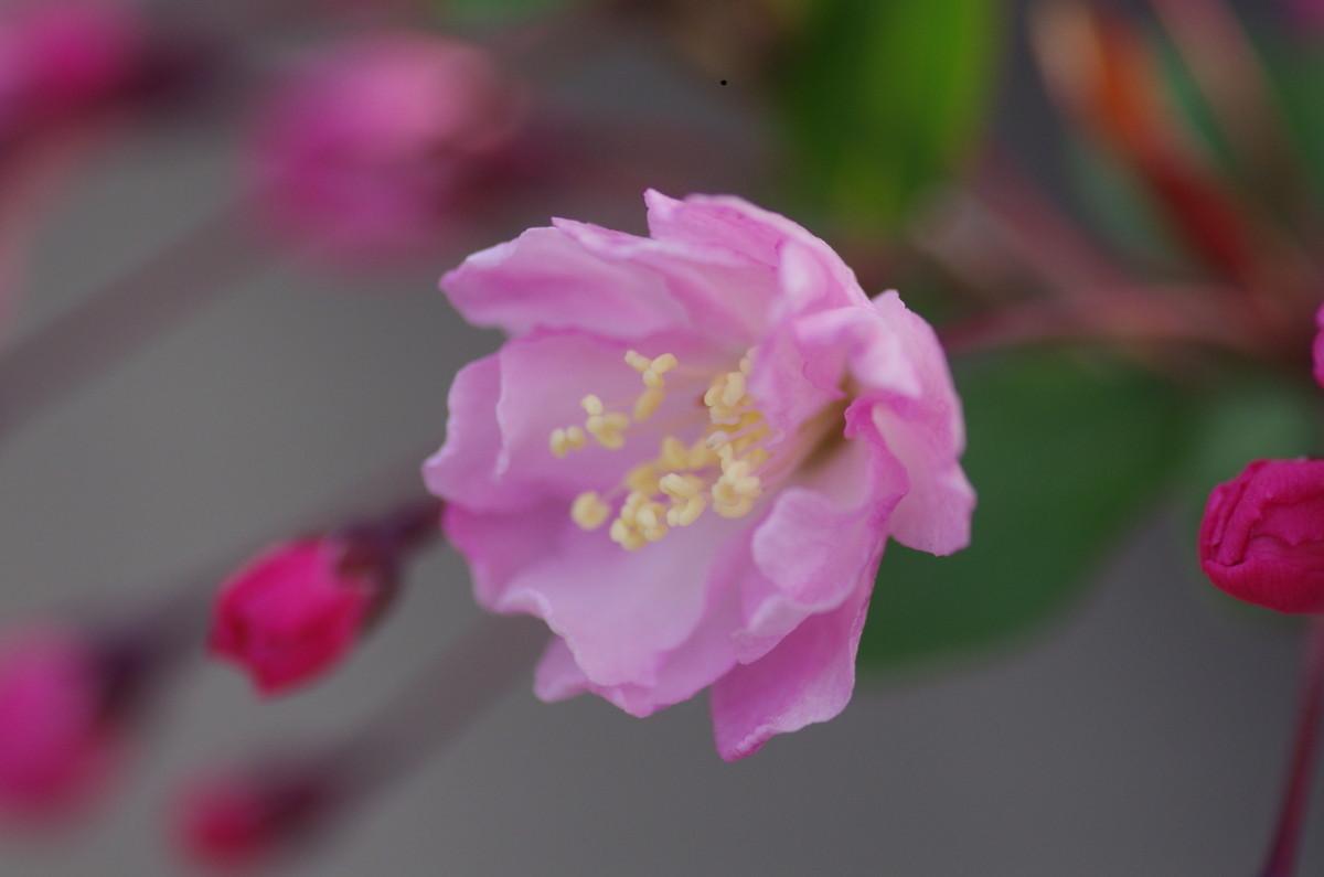 2013.03.29 花海棠 (はなかいどう)