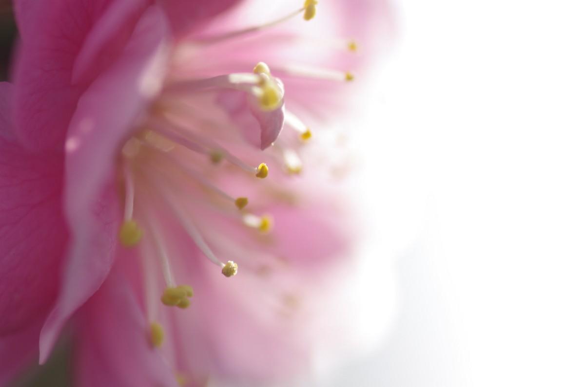 2013.03.05 紅梅(こうばい)
