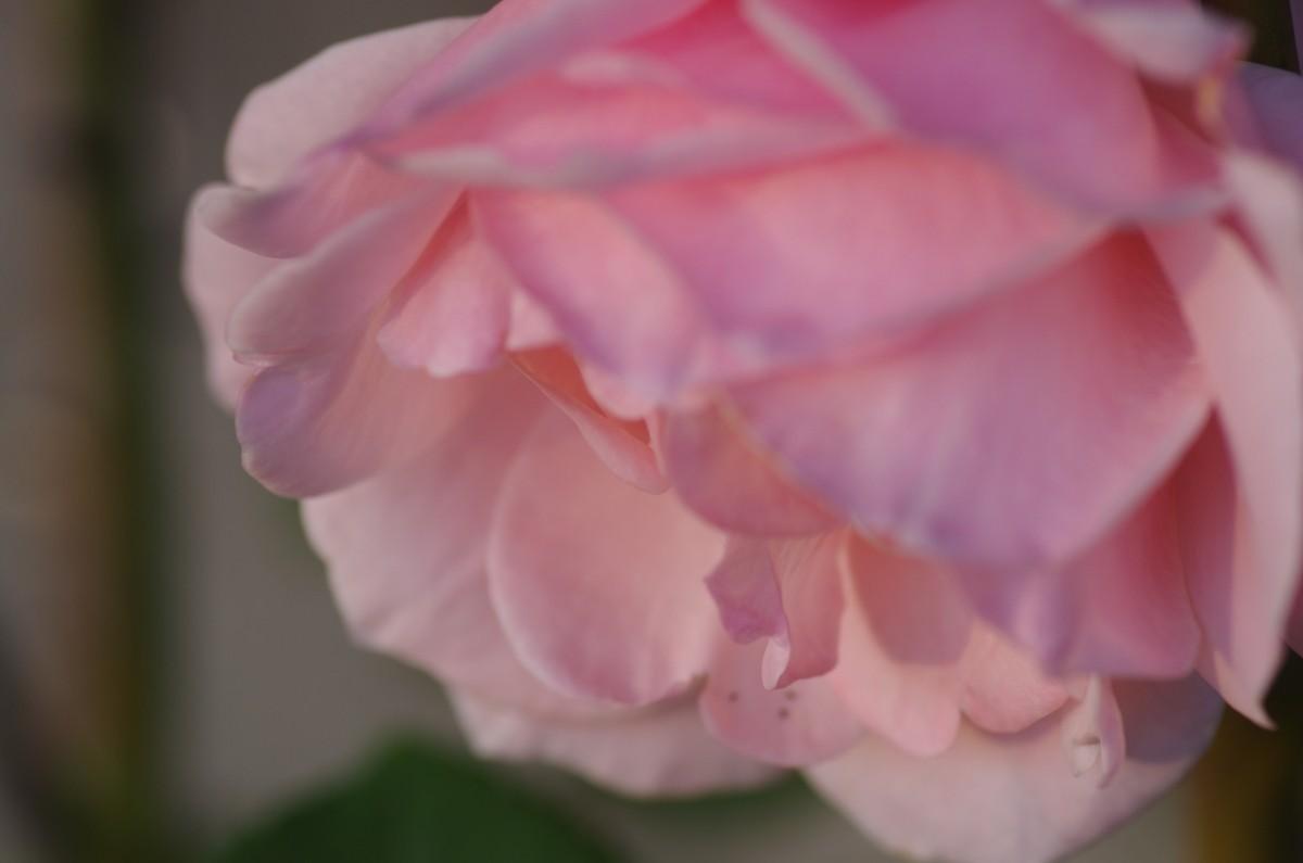 2012.10.29 薔薇(ばら)