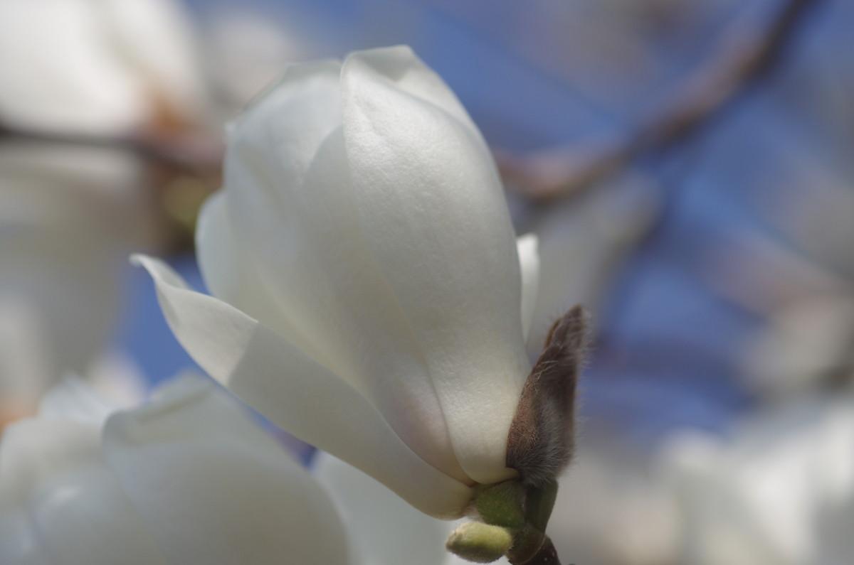 2014.04.02 白木蓮(はくもくれん)