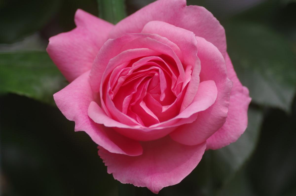 2015.05.29 薔薇(ばら)