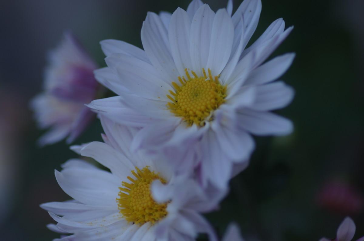 2014.10.29 菊(きく)