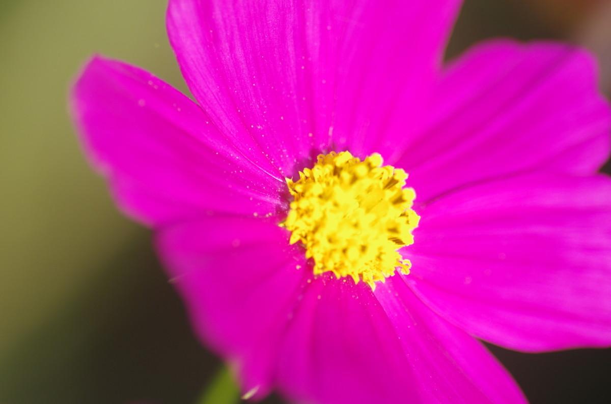 2013.09.30 秋桜(こすもす)